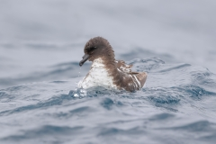 Cape Petrel (Image ID 37612)