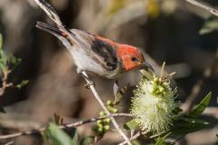Scarlet Honeyeater (Image ID 37608)