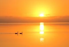 Black Swan (Image ID 37919)