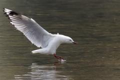 Silver Gull (Image ID 37646)
