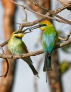 Rainbow Bee-eater (Image ID 37538)