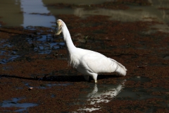 Yellow-billed Spoonbill (Image ID 37613)
