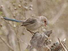 Splendid Fairy-wren (Image ID 37536)
