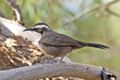 White-browed Babbler (Image ID 37542)