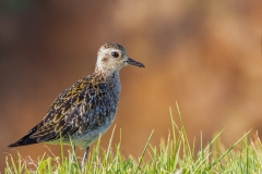 Pacific Golden Plover (Image ID 37522)