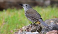 Grey Shrike-thrush (Image ID 37801)