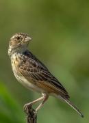 Horsfield's Bushlark (Image ID 37909)