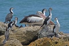 Great Pied Cormorant,Australian Pelican (Image ID 37573)