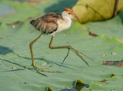 Comb-crested Jacana (Image ID 37897)