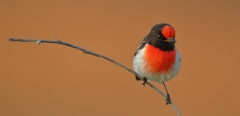 Red-capped Robin (Image ID 37551)