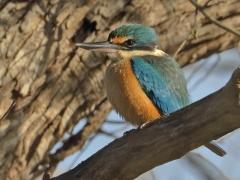 Sacred Kingfisher (Image ID 37548)