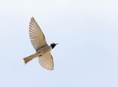 Masked Woodswallow (Image ID 37722)