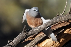 White-browed Woodswallow (Image ID 37570)