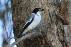 Grey Butcherbird (Image ID 37553)