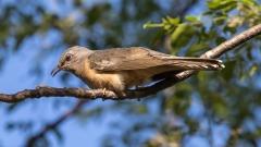 Brush Cuckoo (Image ID 37557)