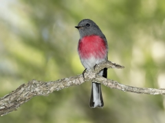 Rose Robin (Image ID 37561)