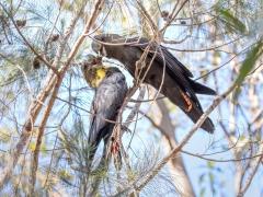 Glossy Black-Cockatoo (Image ID 37559)