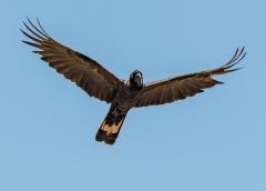 Baudin's Black-Cockatoo (Image ID 37539)