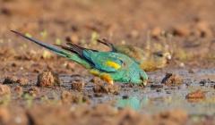 Mulga Parrot (Image ID 38192)