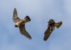 Peregrine Falcon (Image ID 37966)