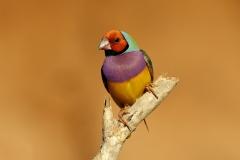 Gouldian Finch (Image ID 38279)