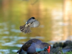 Purple Swamphen, Willie Wagtail (Image ID 38159)