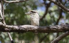Laughing Kookaburra (Image ID 38273)