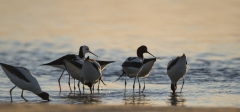 Red-necked Avocet (Image ID 38296)