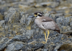 Beach Stone-curlew (Image ID 38233)
