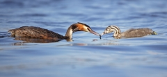 Great Crested Grebe (Image ID 38287)