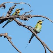 Rainbow Bee-eater (Image ID 38097)