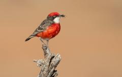 Crimson Chat (Image ID 38253)