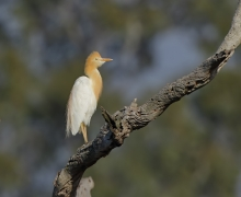 Cattle Egret (Image ID 38074)