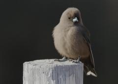 Dusky Woodswallow (Image ID 38151)