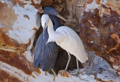 Eastern Reef Egret (Image ID 38140)