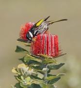 White-cheeked Honeyeater (Image ID 38138)