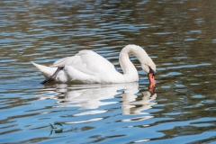 Mute Swan (Image ID 38292)