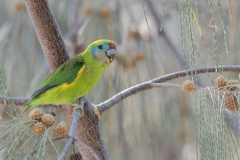 Double-eyed Fig-Parrot (Image ID 38058)