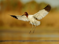 Red-necked Avocet (Image ID 38281)