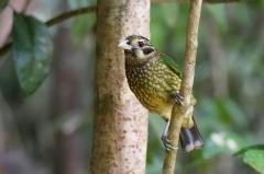 Black-eared Catbird (Image ID 38264)