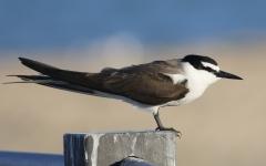 Bridled Tern (Image ID 38282)