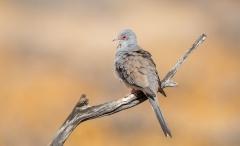 Diamond Dove (Image ID 38256)