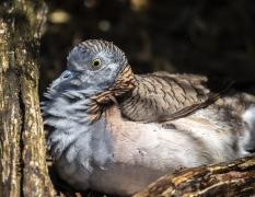 Bar-shouldered Dove (Image ID 38277)
