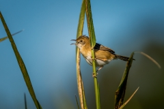 Golden-headed Cisticola (Image ID 38469)