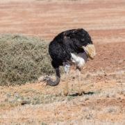 Ostrich (Image ID 37940)