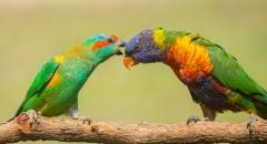 Musk Lorikeet, Rainbow Lorikeet (Image ID 38254)