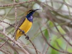 Olive-backed Sunbird (Image ID 38487)