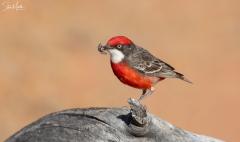 Crimson Chat (Image ID 38080)