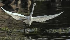 Little Egret (Image ID 38461)