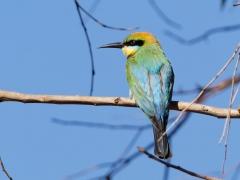 Rainbow Bee-eater (Image ID 38310)